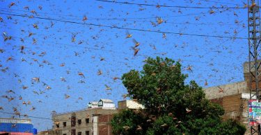 Locusts Pose a Bigger Economic Threat to Pakistan Than the Virus